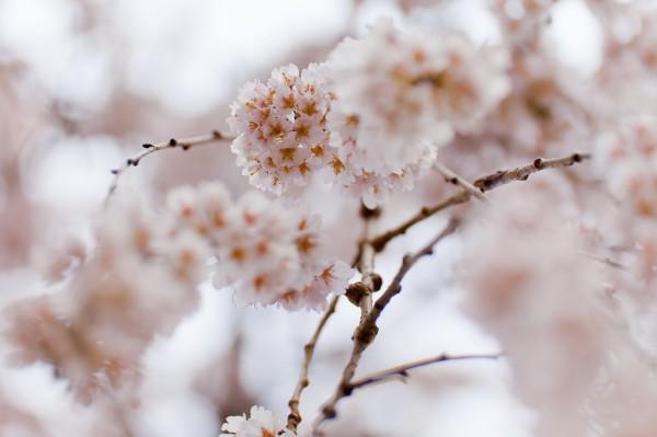 百滝桜[110402-03]