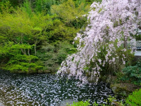 武家屋敷の枝垂れ桜