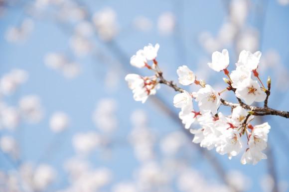 さくら Cherry blossom