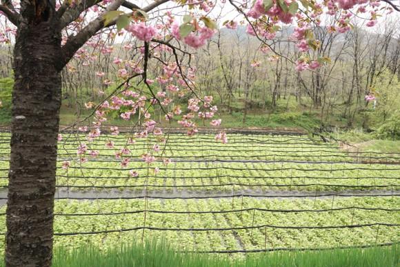ここでは八重桜が満開でした
