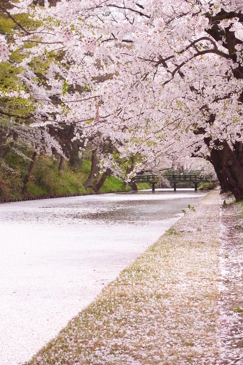 弘前公園の素晴らしい桜