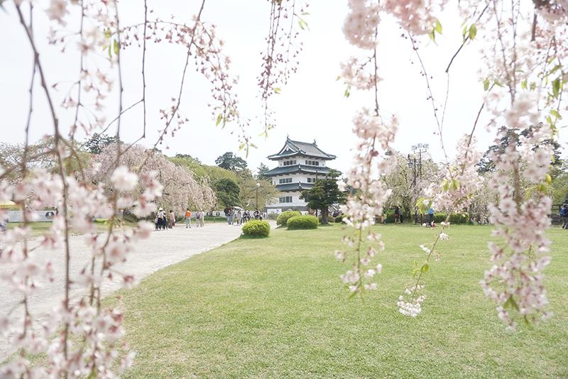 枝垂れ桜から弘前城天守。