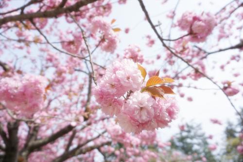 弘前城の八重桜